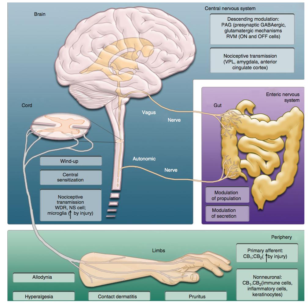 Canabinóides inibem a dor e outros processos patofisiológicos (p.ex., dermatite de contato, prurido) e fisiológicos (p.ex., trânsito gastrointestinal e secreção) através de múltiplos mecanimos envolvendo receptores CB1 e CB2