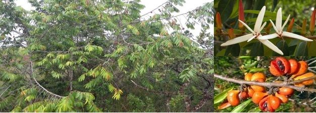 Exemplar de Xylopia aromatica (Annonaceae)