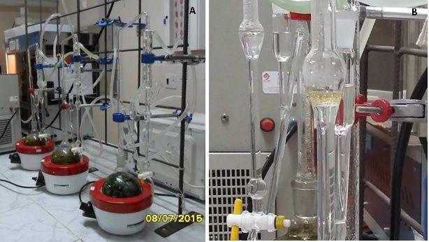 (A) Clevenger modificado e (B) separação do óleo.